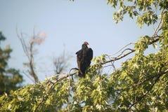 Buzzard perched in tree Stock Photos
