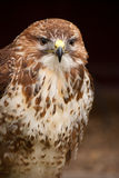 Buzzard Portrait Stock Image