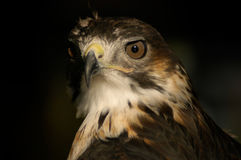 Buzzard Portrait. Face-on portrait of a buzzard bird of prey Royalty Free Stock Images