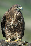 Buzzard Portrait (Buteo buteo) Royalty Free Stock Images