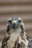 Buzzard Portrait (Buteo buteo) Stock Photos