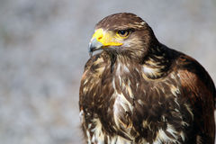 Buzzard Royalty Free Stock Photography