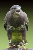Buzzard portrait. On isolated green background Stock Photography