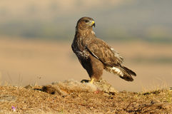 Buzzard  poses with food in the field Royalty Free Stock Photos