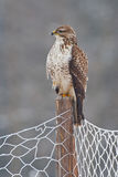 Buzzard on a post Royalty Free Stock Photography