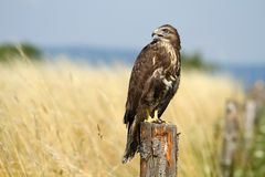 Buzzard on post Stock Photos