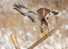 Buzzard on a post about to take off Royalty Free Stock Photo