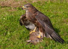 Buzzard with prey Royalty Free Stock Photos