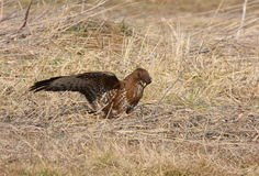Buzzard with prey Stock Photography