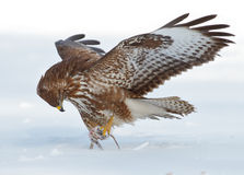 Buzzard with prey. Common buzzard holding his well deserved winter meal Stock Photography