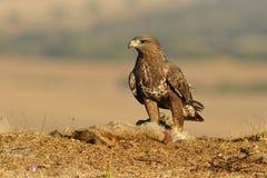 Buzzard on prey in the field Stock Image