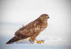 Buzzard with prey in snow Royalty Free Stock Photo