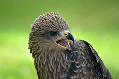 Buzzard, Raptor, Bird, Bird Of Prey Stock Photography