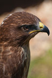 Buzzard raptor head shot Royalty Free Stock Image