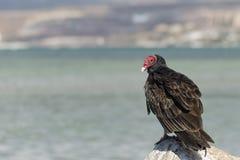Buzzard red head on the sea rocks Stock Photos