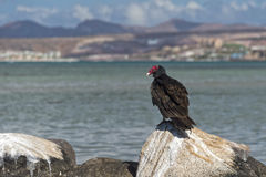 Buzzard red head on the sea rocks Royalty Free Stock Image