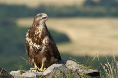 Buzzard on rock Stock Photography