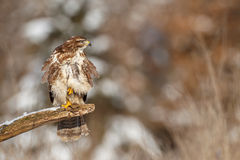 Buzzard on a rotten branch Stock Images