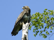 Buzzard rough-legged de Kamchatkan. Fotos de Stock Royalty Free