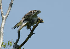 Buzzard rough-legged de Kamchatkan. Fotos de Stock