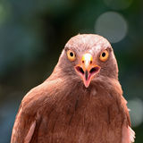 Buzzard Rufous-à ailes Photos libres de droits