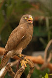 Buzzard,Rufous-winged Buzzard Stock Photo