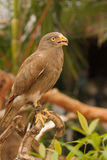 Buzzard,Rufous-winged Buzzard Royalty Free Stock Image