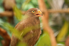 Buzzard,Rufous-winged Buzzard Stock Photos