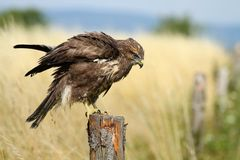 Buzzard shaking off Royalty Free Stock Photos