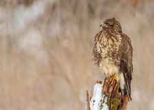 Buzzard sitting Royalty Free Stock Photo