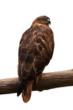 Buzzard sitting on a branch Royalty Free Stock Photo