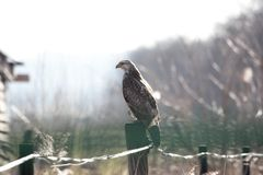 Buzzard sitting on pole Stock Photos
