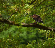 Buzzard sitting on a tree. Buzzard sitting on the branch of a densely-leaved tree royalty free stock image