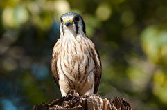 Buzzard sitting on a tree trunk Stock Photography