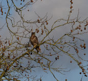 Buzzard sitting in a tree. A young buzzard perched on a branch a tree Royalty Free Stock Photo