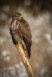 Buzzard on a stick Royalty Free Stock Image