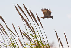 Buzzard stopping over the reed Royalty Free Stock Images
