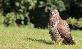 Buzzard on a strole Royalty Free Stock Photography