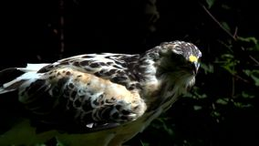 Buzzard in summer stock video