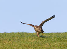 Buzzard taking off Royalty Free Stock Photography