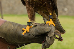 Buzzard talons. Talons of a buzzard on a gloved hand stock photo