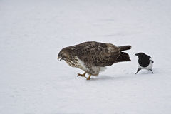 A buzzard is teased by an European magpie. Royalty Free Stock Photo