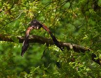Buzzard about to fly off a tree. Buzzard flies off the branch of a densely-leaved tree Royalty Free Stock Images