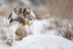 Buzzard about to land with talons ready Stock Photos