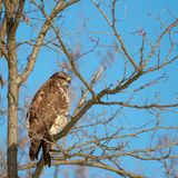 Buzzard on tree Stock Photos