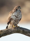 Buzzard. Royalty Free Stock Images