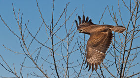 Buzzard vole de l'arbre Images stock