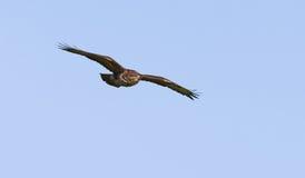 Buzzard in volo Immagine Stock Libera da Diritti