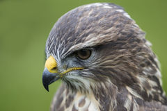 Buzzard Watching Prey Royalty Free Stock Photos