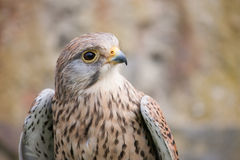 Buzzard with white and brown colors Royalty Free Stock Photography